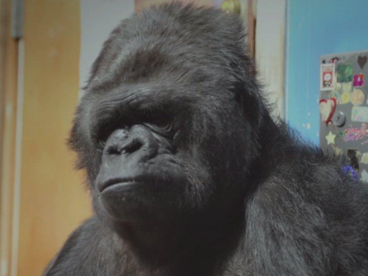 Photo of Muere Koko la gorilla quien hablaba con lengua de señas