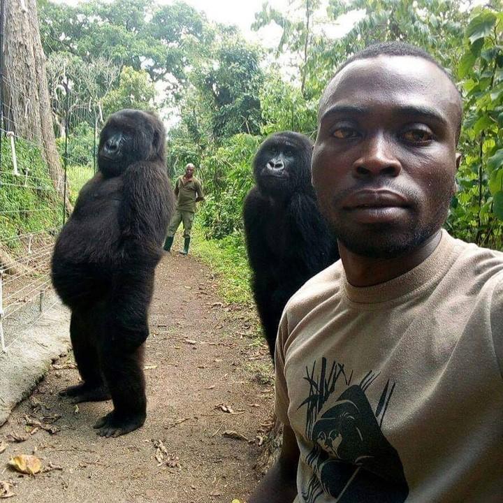 Photo of Gorilas huérfanos posan en un selfie con el guardaparque