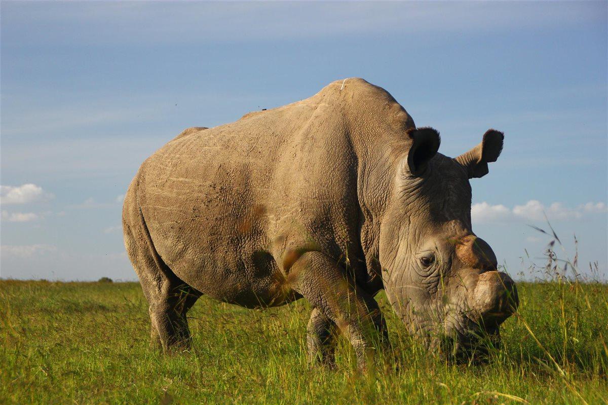 Photo of Muere el último rinoceronte macho que quedaba en el norte