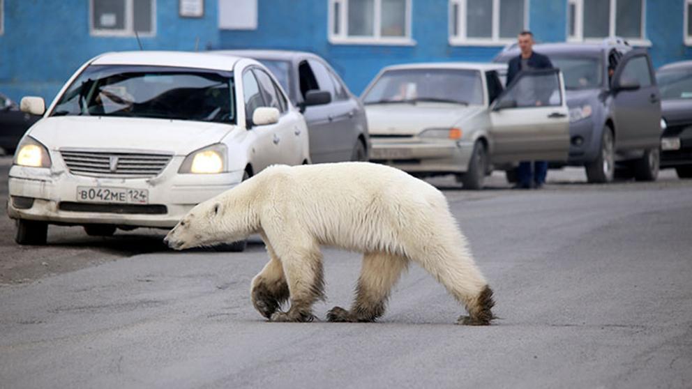 Photo of Un oso polar fue visto a cientos de kilómetros de su hábitat natural
