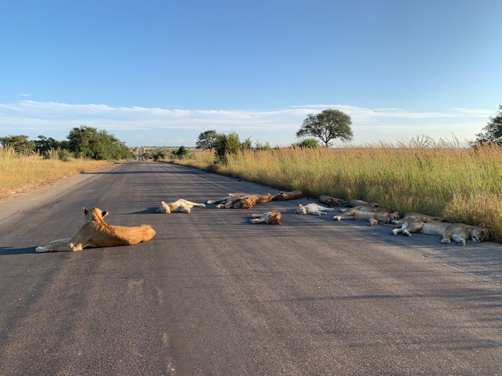 Photo of Leones se apoderaron de las vías por donde antes transitaban los vehículos del Parque Nacional Kruger